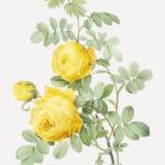 The beauty of Yellow – Cadmium Lemon, Cadmium Yellow Light, Cadmium Yellow Medium